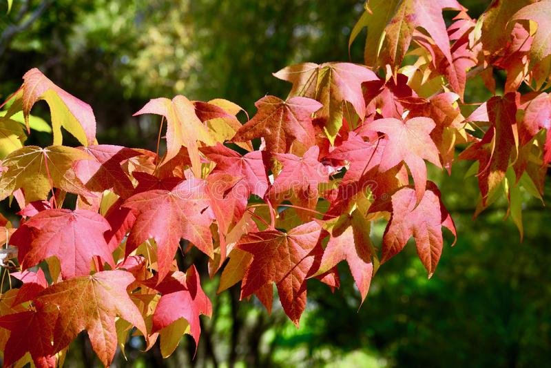 Une photo en gros plan d'une branche d'arbre avec les feuilles d'automne rouges, contre-jour photo libre de droits