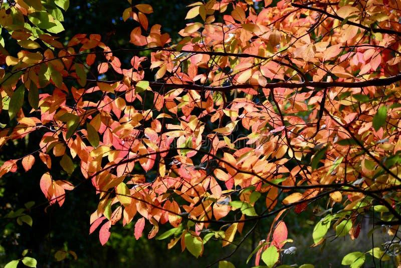 Une photo en gros plan d'une branche d'arbre avec les feuilles d'automne rouges, contre-jour photos libres de droits