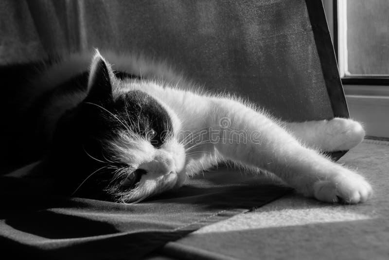 Une photo noire et blanche d'un chat noir et blanc avec de grands yeux se trouve sur un rideau foncé photos libres de droits