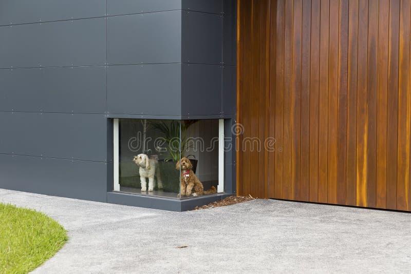 Une photographie de couleur d'un chien blanc et d'un chien brun attendant devant une basse fenêtre à une maison avec le revêtemen photo libre de droits