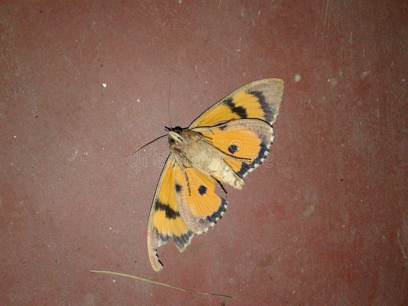 Une PIC de repos de papillon photo stock