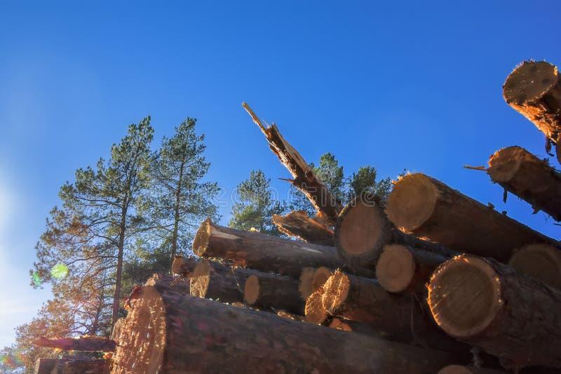 Une pile de rondins fraîchement sciés de pin au bord de la forêt photo libre de droits