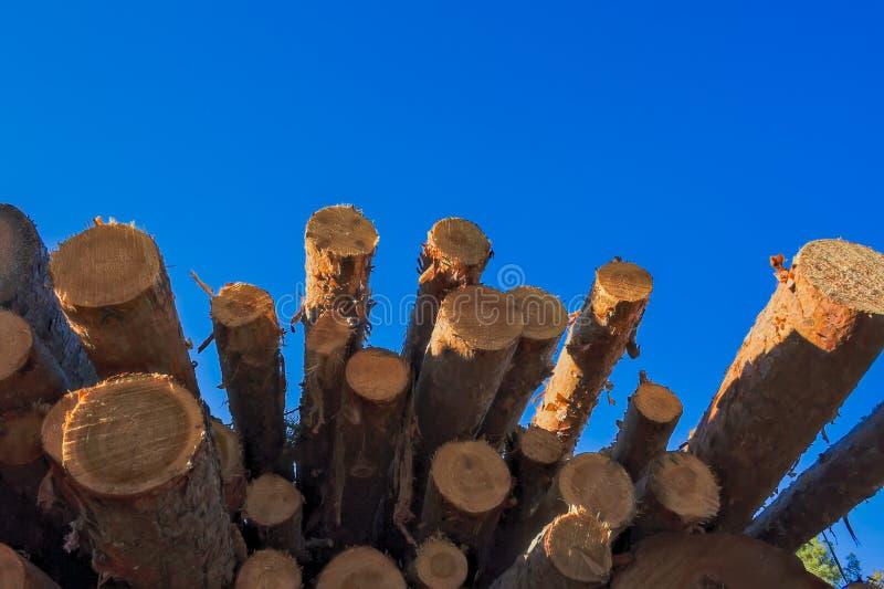 Une pile de rondins fraîchement sciés de pin au bord de la forêt photos libres de droits