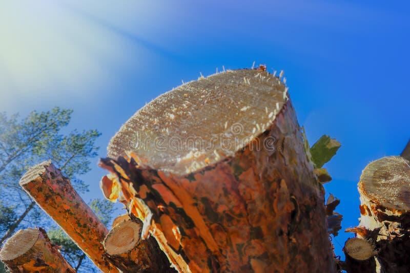 Une pile de rondins fraîchement sciés de pin au bord de la forêt images libres de droits