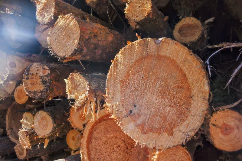 Une pile de rondins fraîchement sciés de pin au bord de la forêt photo stock