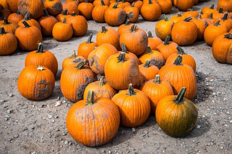 Une pile des potirons cultivés attendant leur sélection à une correction de potiron, Gainesville, la Géorgie, Etats-Unis photos stock