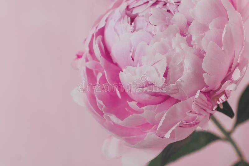 Une pivoine rose se tient sur un fond rose photo stock