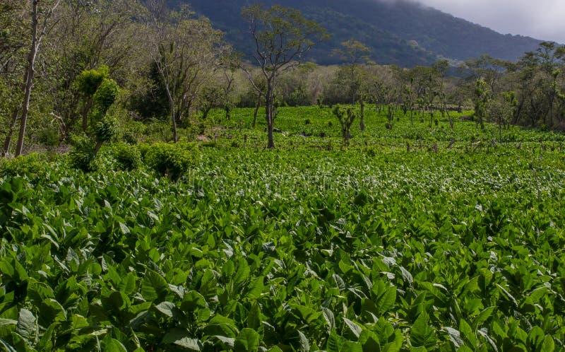 Une plantation de tabac avec et un volcan actif à l'arrière-plan sur l'île d'Ometepe, Nicaragua photographie stock libre de droits