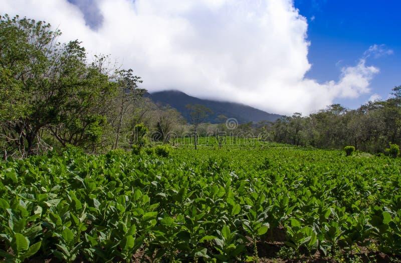 Une plantation de tabac avec et un volcan actif à l'arrière-plan sur l'île d'Ometepe, Nicaragua images libres de droits