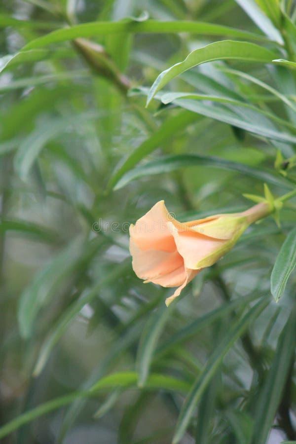 Une plante verte pendant une saison d'?t? caract?ris?e par une fleur orange image libre de droits