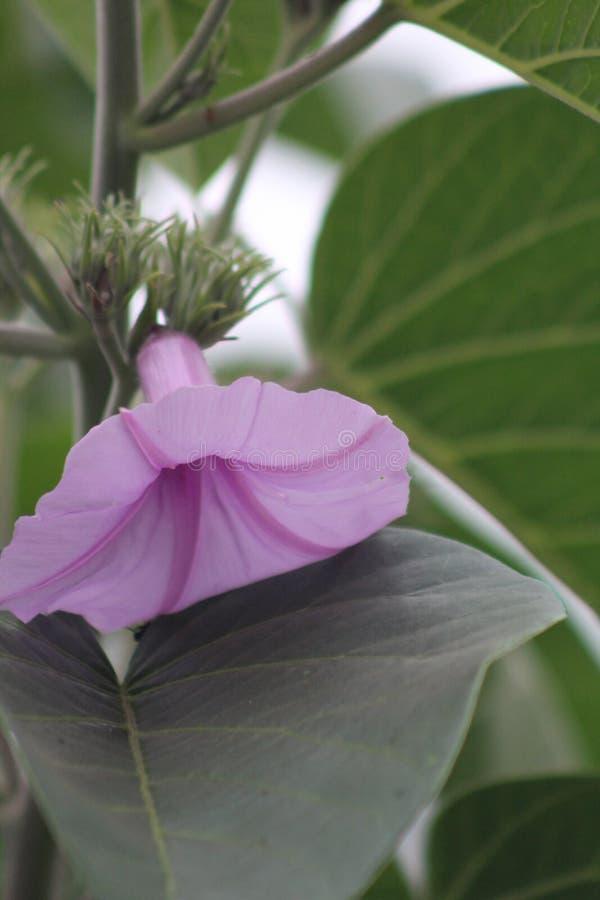 Une plante verte pendant une saison d'?t? caract?ris?e par les fleurs roses photographie stock