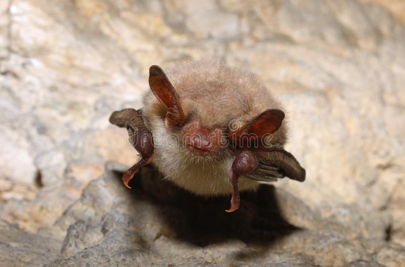 Une plus grande chauve-souris souris-à oreilles (myotis de Myotis) images stock