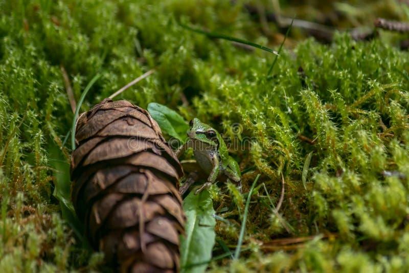 Une plus petite grenouille de petit cône de pin image stock
