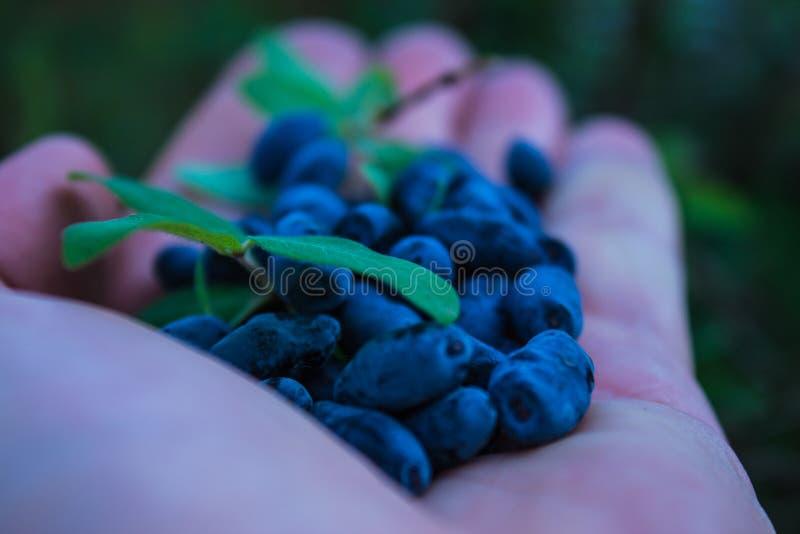 Une poignée de baies bleues de chèvrefeuille dans la paume de votre main photos stock