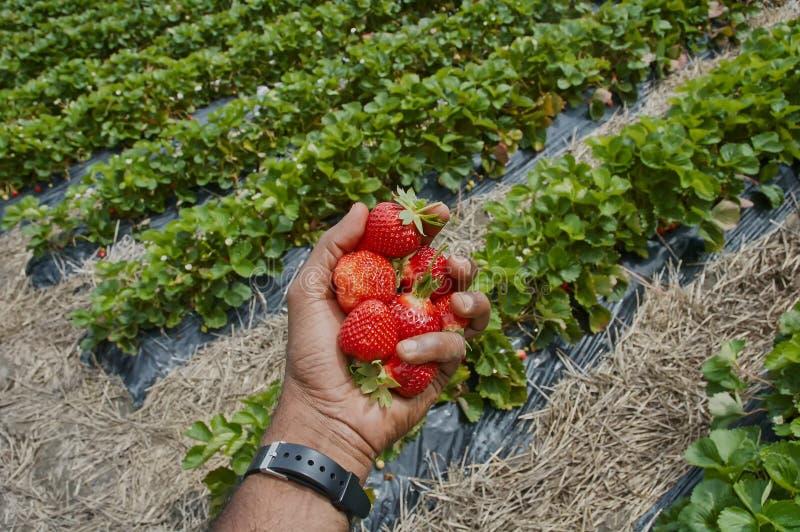 Une poignée de fraises photos stock