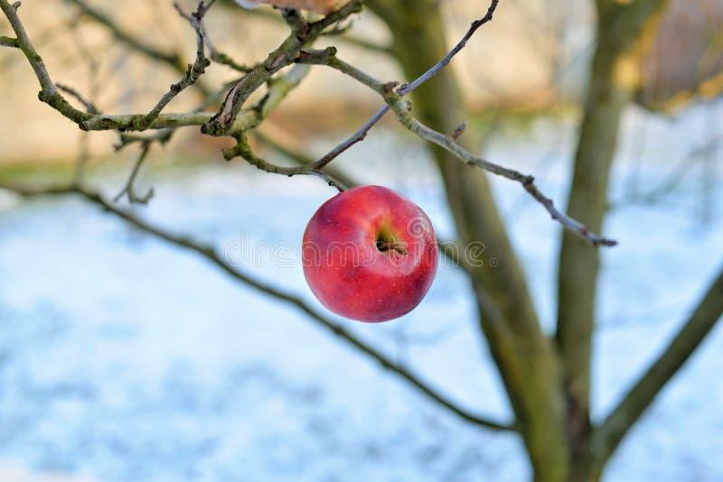 Une pomme rouge accrochant dans un arbre sec image libre de droits