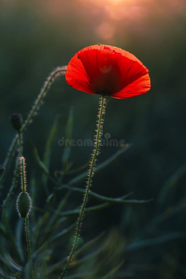 Une Poppy Glowing dans la soirée chaude Sun photographie stock