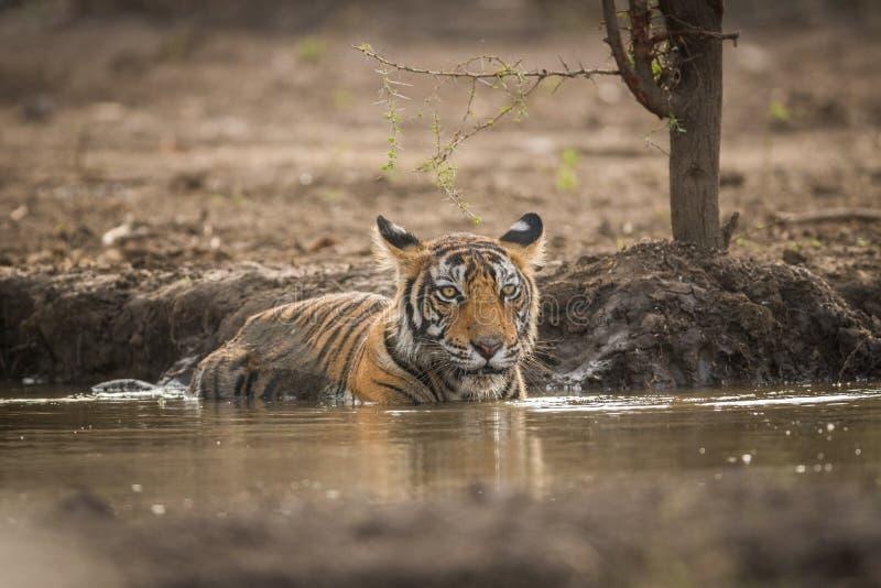 Une pose royale par un petit animal de tigre de CMA au parc national de Ranthambore images libres de droits