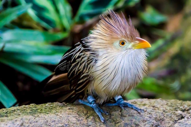 Une pose saisissante de plan rapproché d'un oiseau de coucou de Guira photos libres de droits
