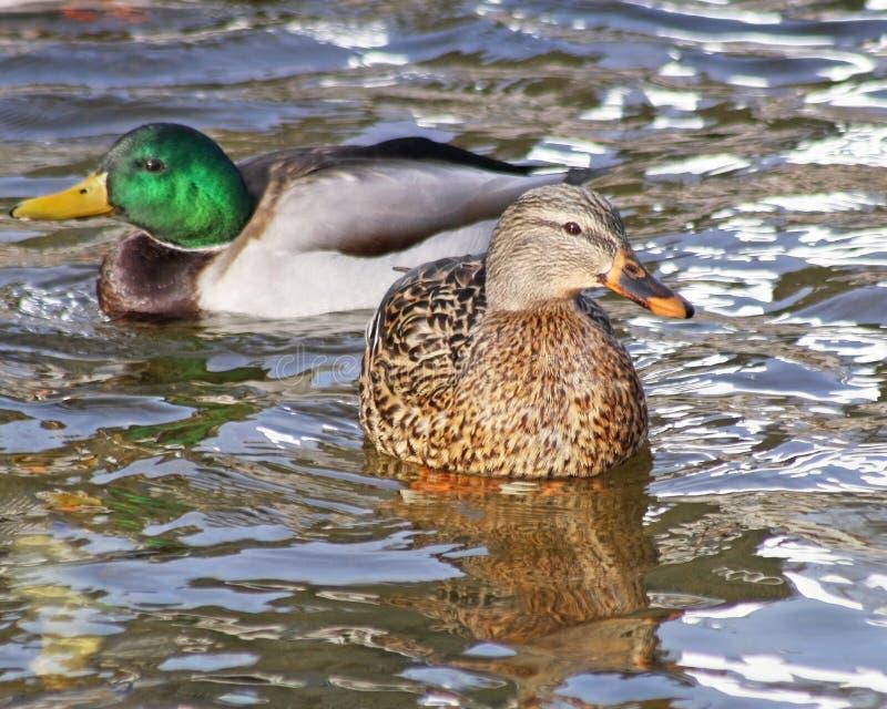 Une poule de Mallard et une natation de Mallard Drake sur les eaux bleues calmes photos libres de droits