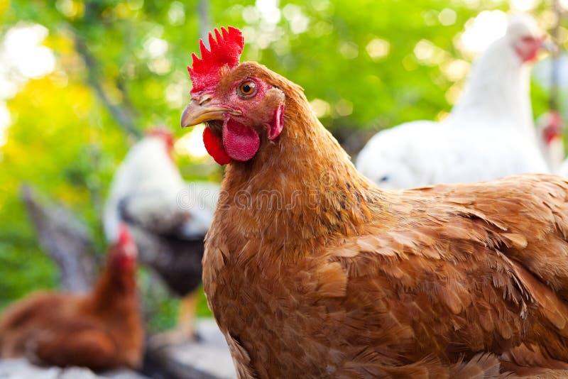 Une poule devant son groupe photographie stock