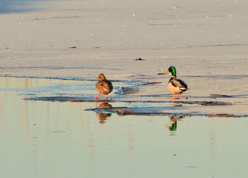 Une promenade sur la glace image libre de droits