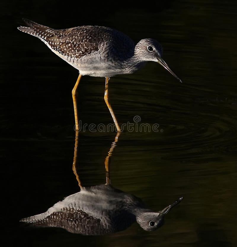 Une réflexion de plus grand Yellowlegs dans un étang photos stock