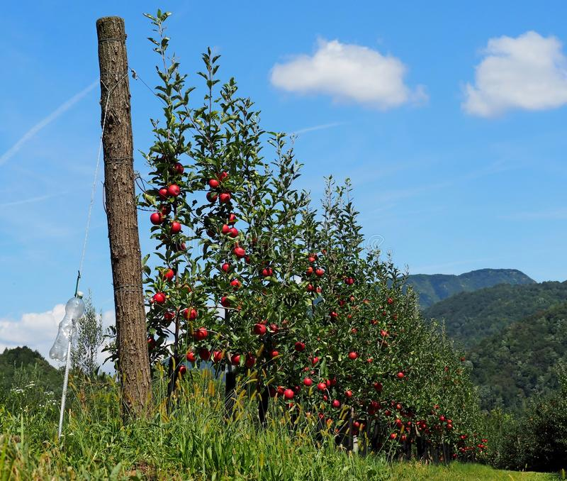 Une rangée de jeunes pommiers rouges, cultivée sur la montagne, dans l'été photographie stock