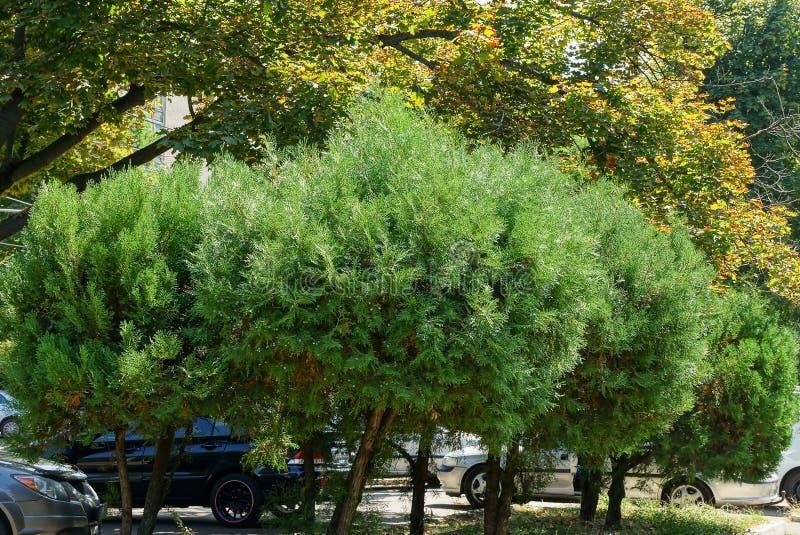 Une rangée des arbres ornementaux coniféres de rond vert sur le trottoir en parc de ville image libre de droits