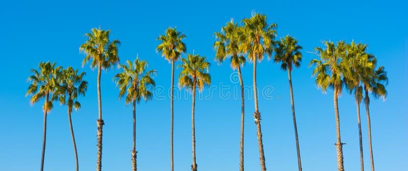 Une rangée des palmiers avec un fond de bleu de ciel image libre de droits