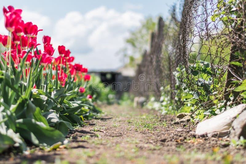 Une rangée des tulipes dans un jardin image stock