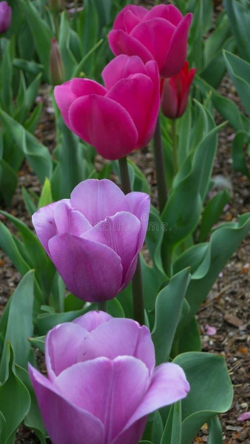 Une rangée des tulipes pourpres et roses dans le jardin image stock