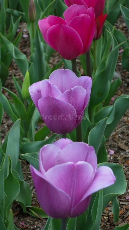 Une rangée des tulipes pourpres et roses dans le jardin image libre de droits