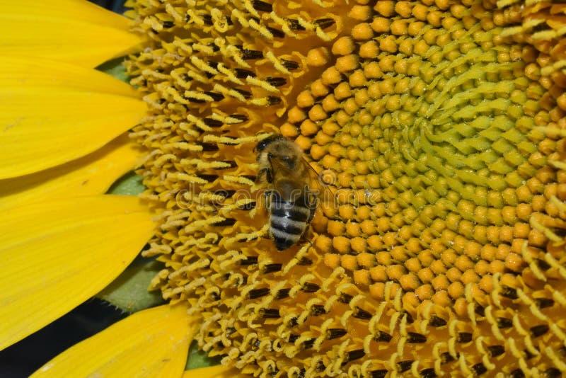 Une recherche du pollen image stock