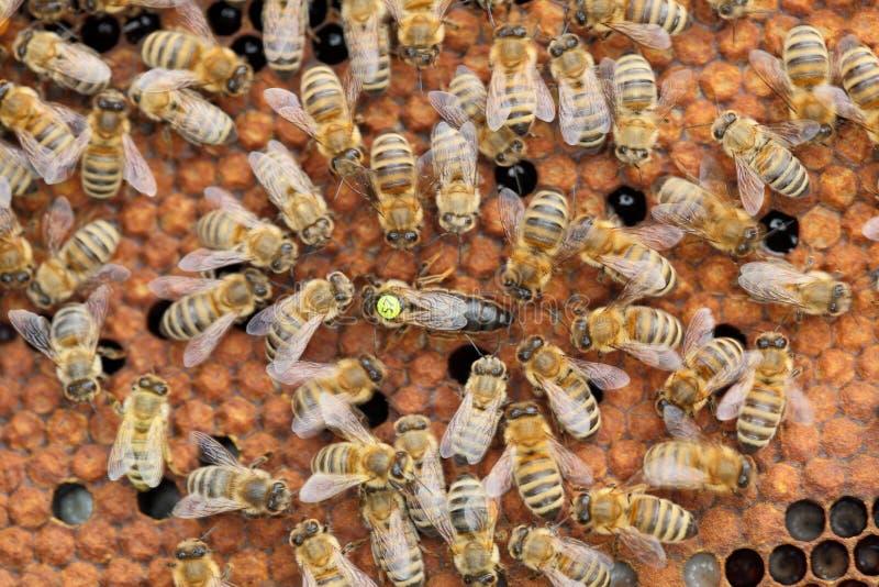 Une reine d'abeille au milieu image stock