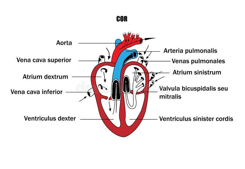 Une représentation schématique des organes internes, l'anatomie du coeur illustration stock