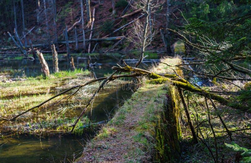 Une rivière naturelle de montagne dans la forêt, castors photographie stock libre de droits