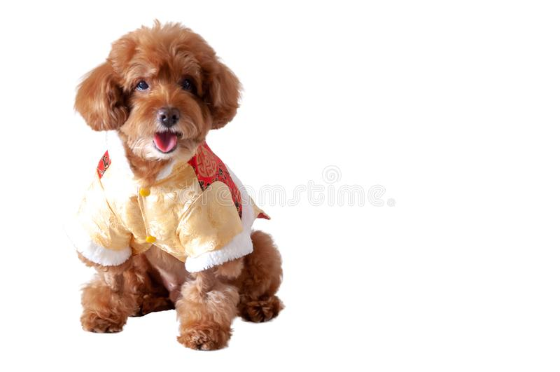Une robe de port brune adorable de chinois traditionnel de chien de caniche de jouet photo stock