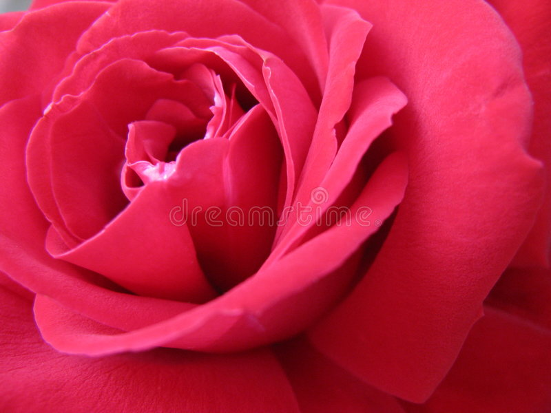 Une rose photographie stock