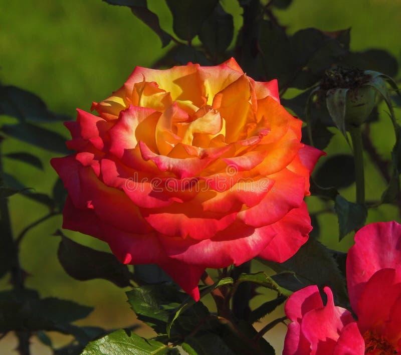 Une rose photo stock