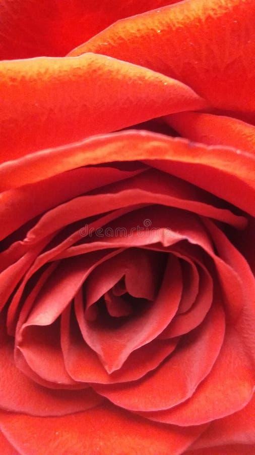Une rose photos libres de droits