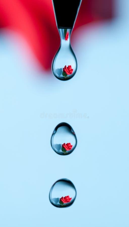 Une rose attrapée s'est reflétée dans une série d'égouttements de l'eau photos stock