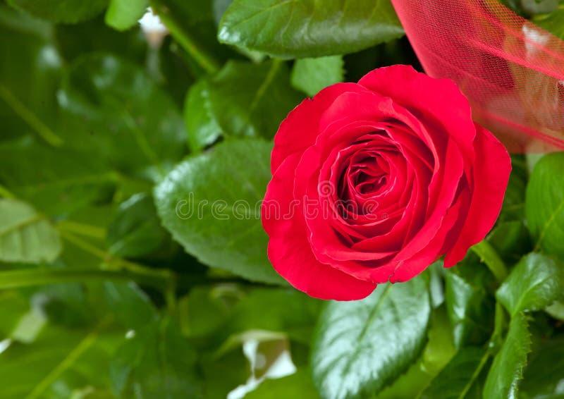 Une rose de rouge photo stock