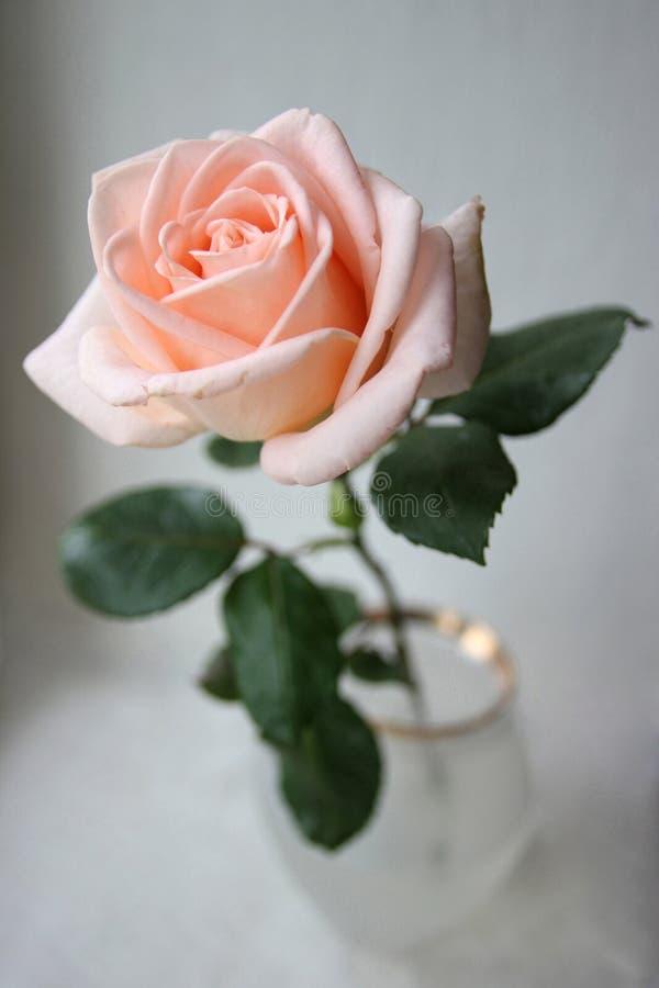Une rose douce de rose dans la cuvette de vase photographie stock