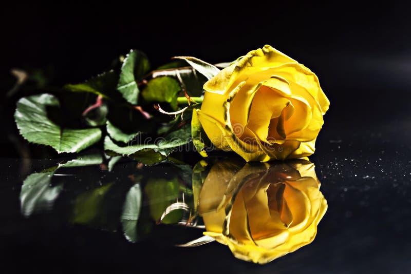 Une rose jaune avec des baisses sur un fond bleu image stock