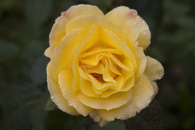 Une rose jaune sous la pluie image stock