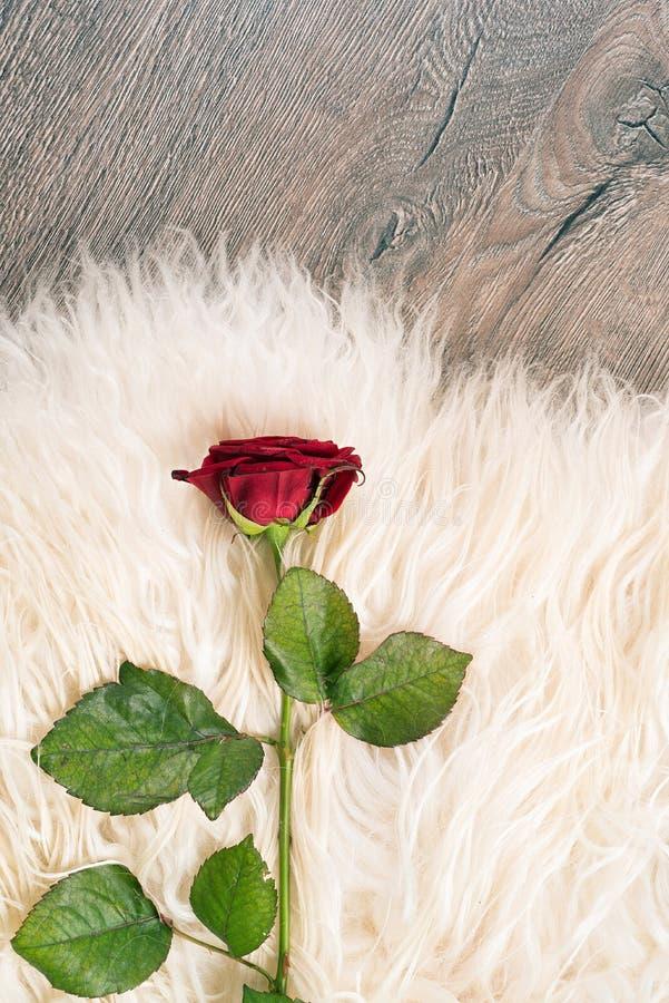 Une Rose rouge photographie stock libre de droits