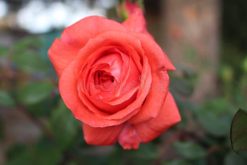 Une rose rouge bulgare a tiré en automne seulement dans la Bulgarie en octobre/novembre photographie stock