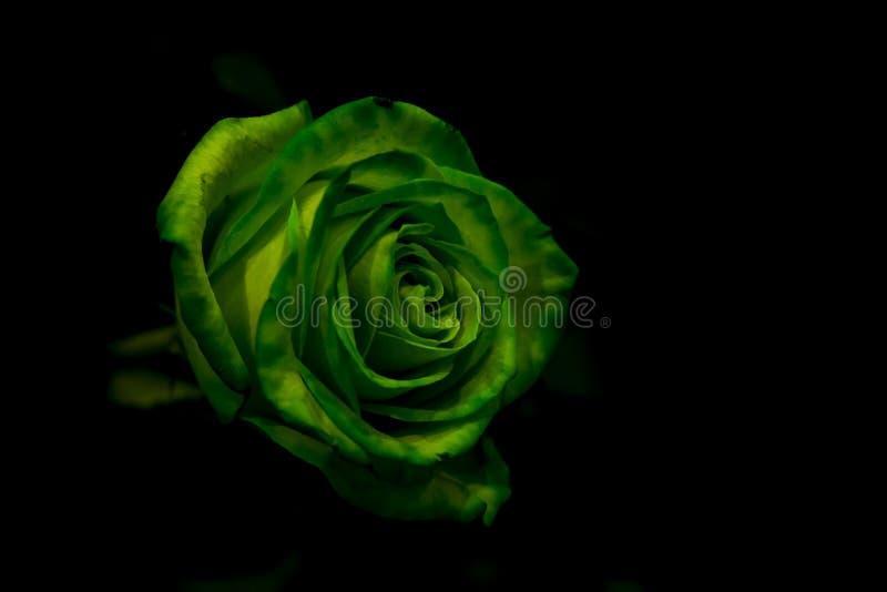 une rose verte avec le vert part sur un fond fonce photo stock image du fond fonce 93840120 une rose verte avec le vert part sur un