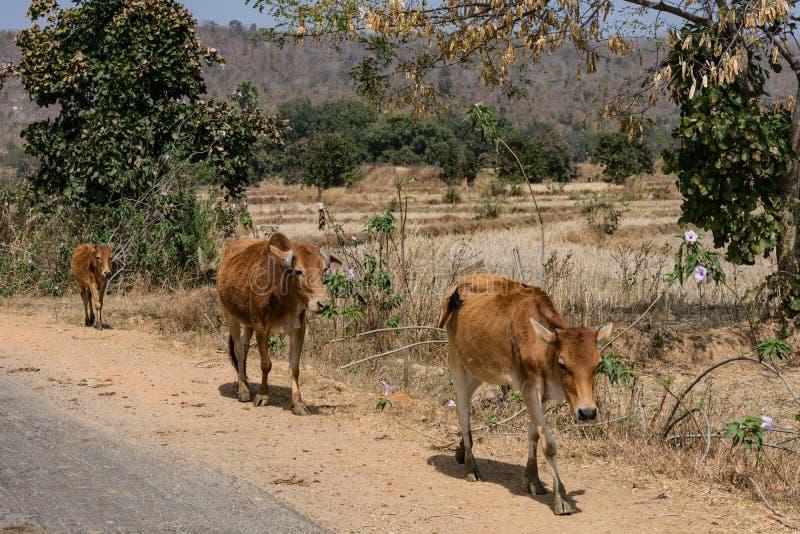 Une rupture étroite des taureaux indiens au village rural au jour ensoleillé la saison d'été photographie stock libre de droits